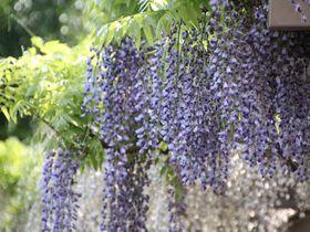 神奈川県藤沢市大庭の公園を巡って「市の花」藤を楽しもう!