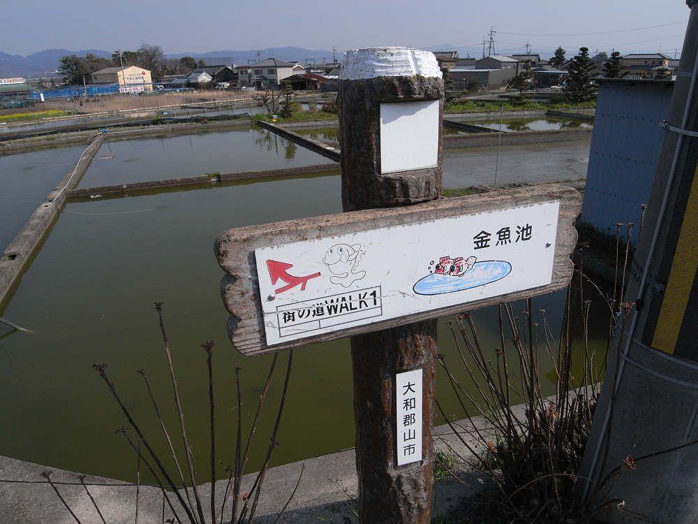 野良金魚も泳ぐ!? 市街地南部の「金魚の養殖池」も他では見られない風景です