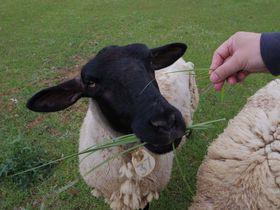 """鹿せんべい似の""""羊せんべい""""も!奈良県「めえめえ牧場」"""