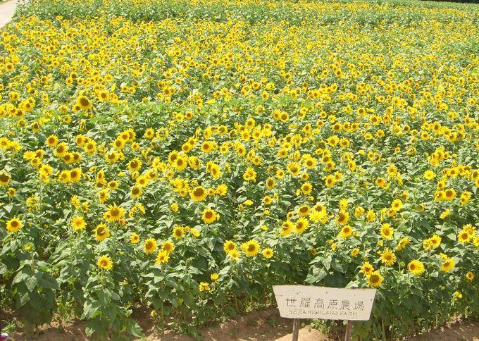 20.世羅高原農場・ひまわりまつり/広島