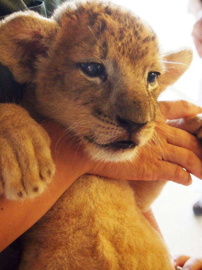 赤ちゃんライオンを抱っこするチャンスは9月1日まで!
