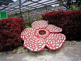 ボルネオ島・死ぬまでに一度は見ておきたい幻の花「ラフレシア」