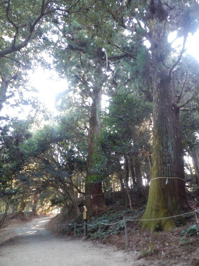 樹齢は700年から1000年!天然記念物に指定されている巨大な天然杉