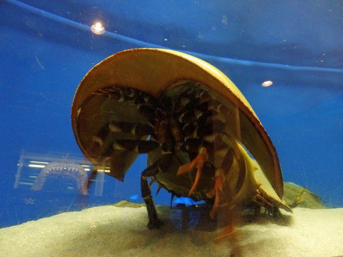 世界唯一の「笠岡市立カブトガニ博物館」で生きた化石を知る