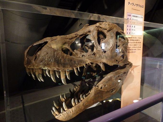 カブトガニ博物館の館内にも!ティラノサウルスの骨格標本