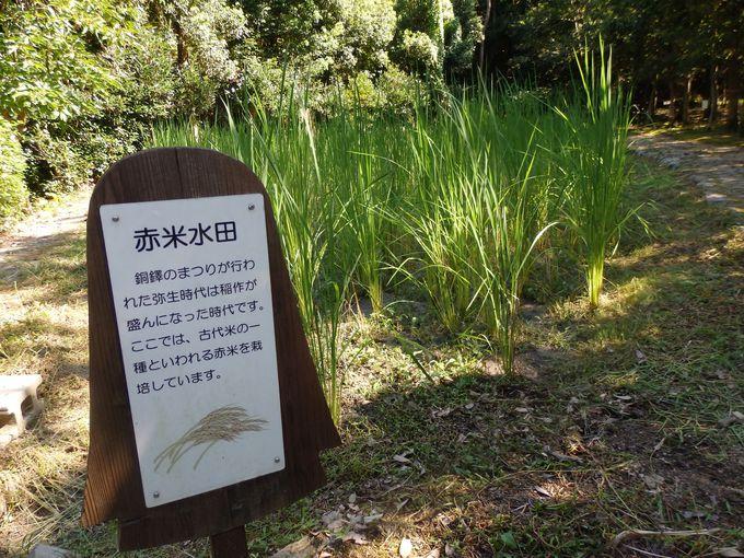 古代の食文化を学ぼう!赤米を栽培する水田