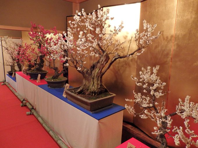 展示数は約120鉢!所狭しと並べられた盆梅の数々