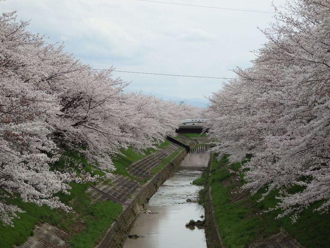 佐保川沿いに延々と続く桜並木