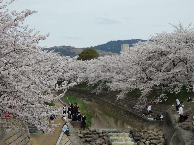 河川敷からも眺めよう!奈良市立佐保川小学校前の桜並木