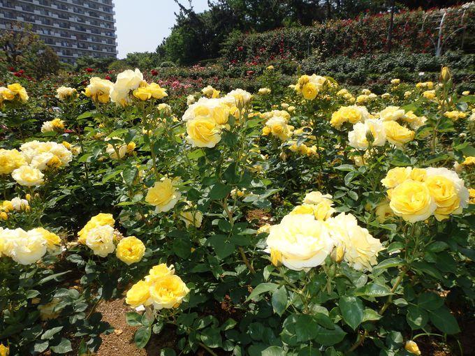 まさしくバラのテーマパーク!さまざまなバラが見られるバラ園