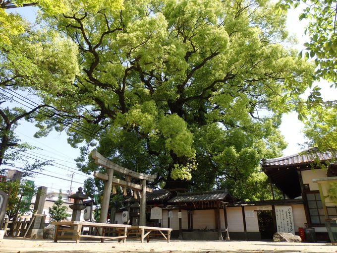 あわせてお参りを!熊野より運ばれて来たと伝わる後白河院お手植えの「影向の大樟」