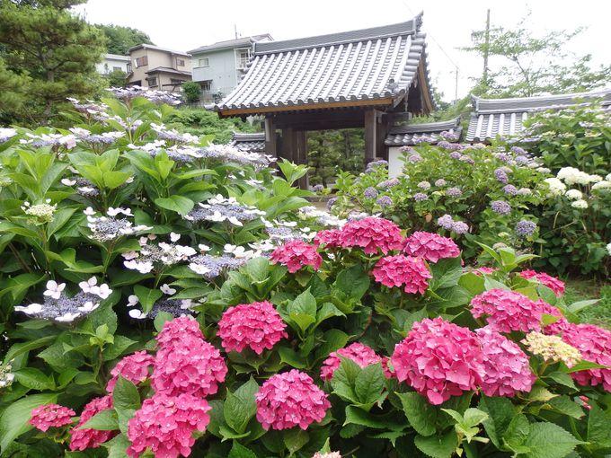 こっそり教えます!アジサイの隠れスポット「長弓寺」(奈良市)