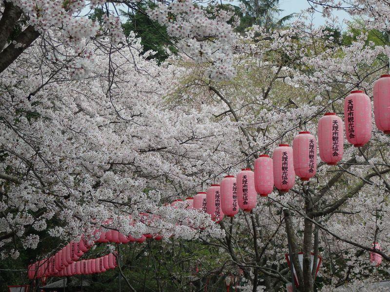 日本最古の社でお花見を満喫!奈良県天理市・石上神宮の桜