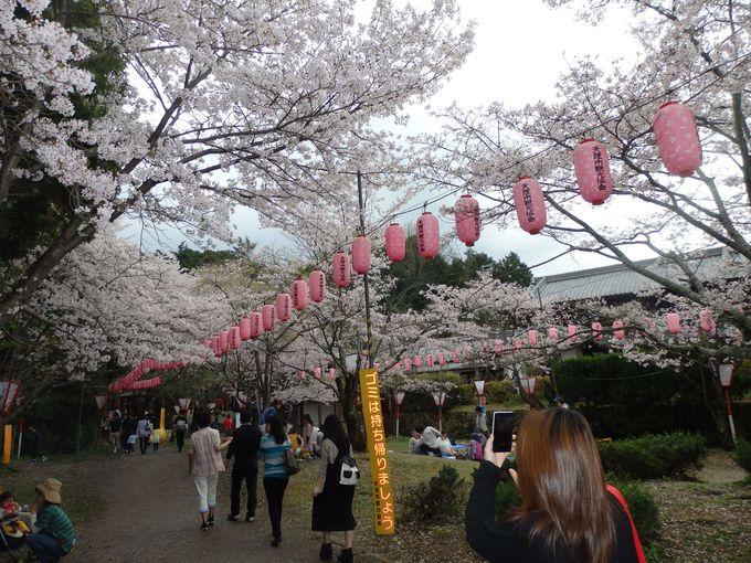 聞こえて来る賑やかな声に誘われて!神宮外苑公園の桜