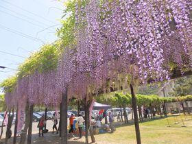 日本最長クラス!900メートルの藤棚・岡山「渋川藤まつり」|岡山県|トラベルjp<たびねす>