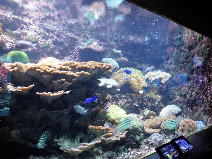 串本のサンゴを観察しよう!日本最長記録を誇る大型サンゴの「ウミバラ」