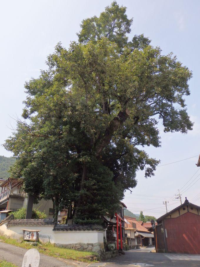 丹波焼の長い歴史を見守り続けて来たアベマキの巨木