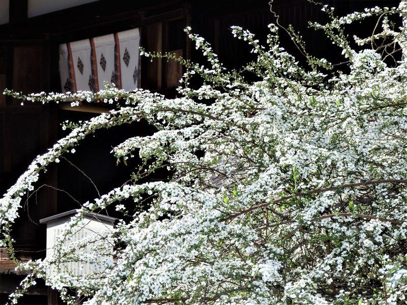 春は雪柳も満開!国宝・五重小塔を有する奈良市の海龍王寺