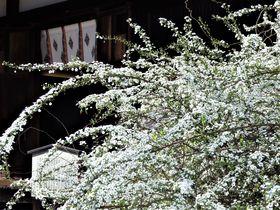 春は雪柳も満開!国宝・五重小塔を有する奈良市の海龍王寺|奈良県|トラベルjp<たびねす>