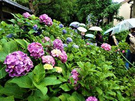 紫陽花を愛でて芸能鑑賞!京都・藤森神社「紫陽花まつり」|京都府|トラベルjp<たびねす>