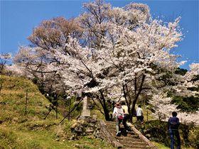樹齢は千年近く!奈良最古の佛隆寺「千年桜」は圧倒的迫力