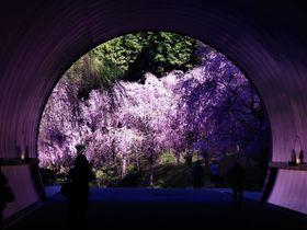 関西最後の春を堪能!滋賀県「MIHO MUSEUM」の桜