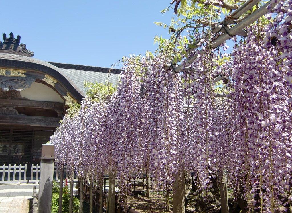 京都御所からはるばる海を越えて咲いた臥龍の藤