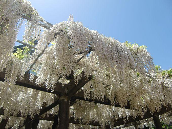 藤の香漂う境内で4つの藤棚を堪能しよう!