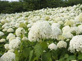 桜の次は紫陽花ロード、埼玉・幸手権現堂堤は梅雨も美しい