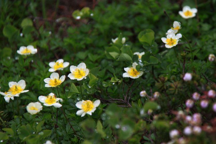 白い花弁に黄色いおしべがかわいいチングルマ