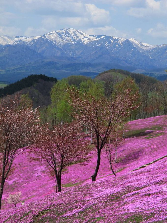 日本一の大群落!残雪の山なみとの対比が美しい「芝ざくら滝上公園」