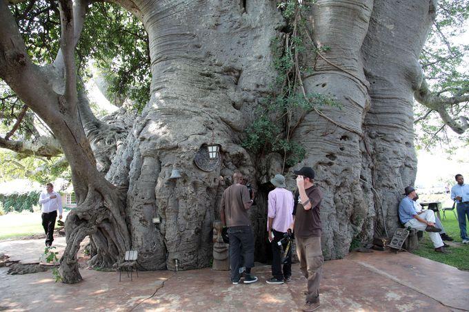 世界一大きな『バオバブの木』!!