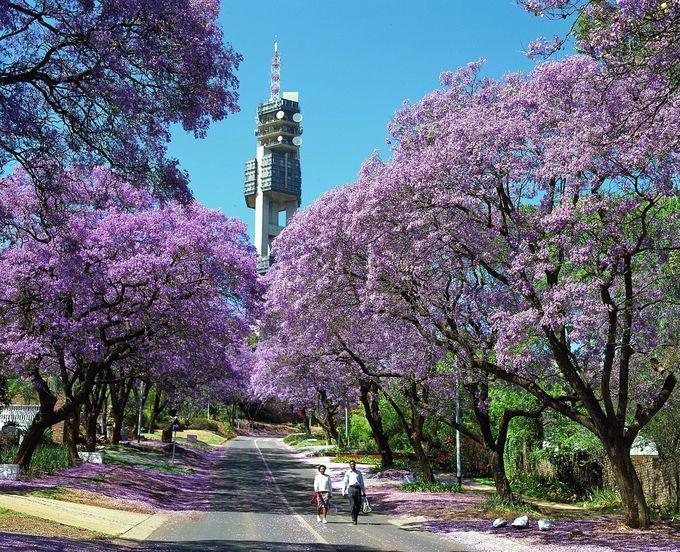 美しい紫色のジャカランダが咲き誇る南アフリカの首都。行政と歴史の街『プレトリア』