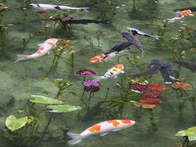 まるで絵画!美しすぎる「モネの池」は岐阜の新名所|岐阜県|トラベルjp<たびねす>