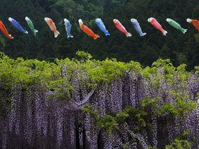 兵庫の大町藤公園は鯉のぼりも泳ぐ藤に彩られた公園|兵庫県|トラベルjp<たびねす>