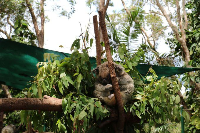 起きているコアラは、一般的にはとてもレア!