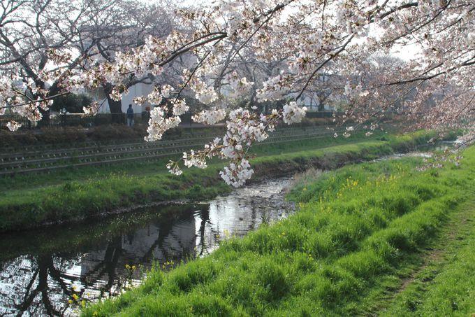 野川は知る人ぞ知る桜の名所