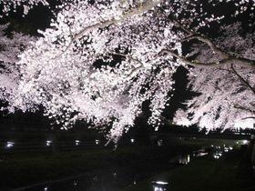 桜満開の一夜限りの開催!東京・野川の夜桜ライトアップ