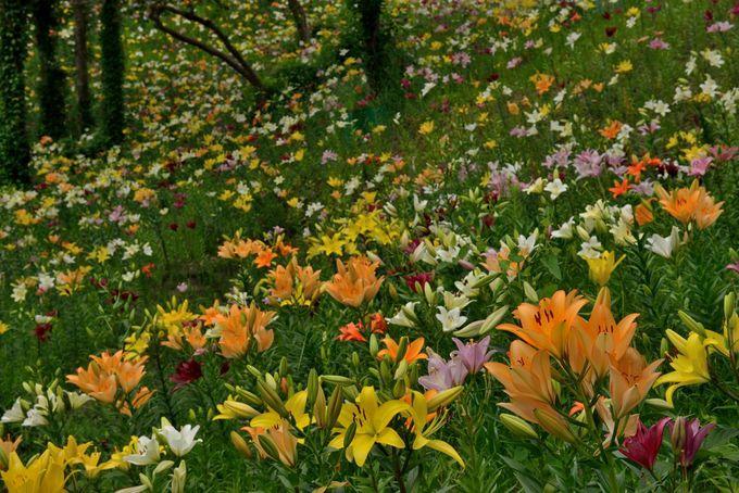 5色のゆりが咲き乱れる丘