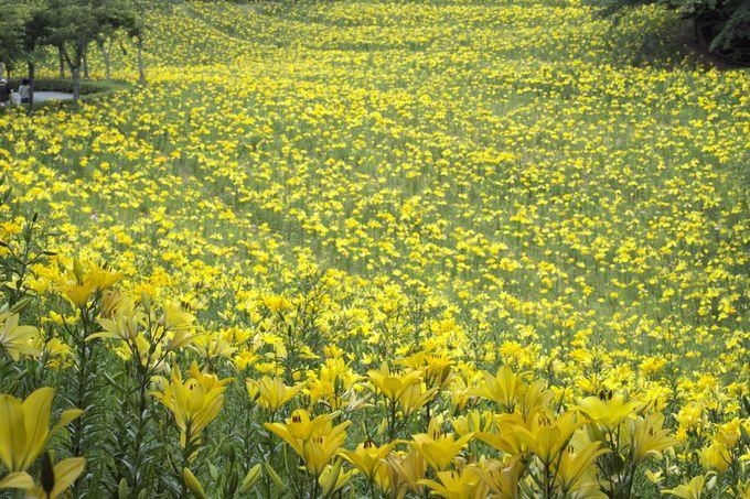 まるで巨大な黄色い絨毯