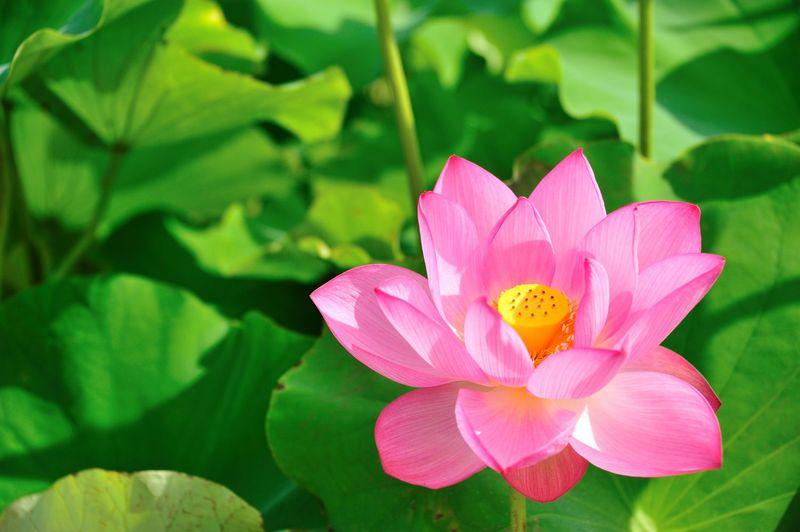 1400年以上の眠りから覚めた古代蓮を見に行こう! 埼玉県行田市 古代蓮の里