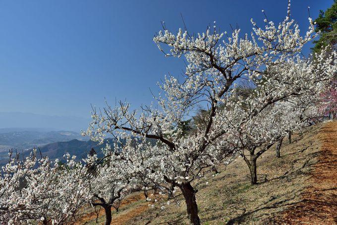 梅の花々の向こうに遠くの山々を見通す