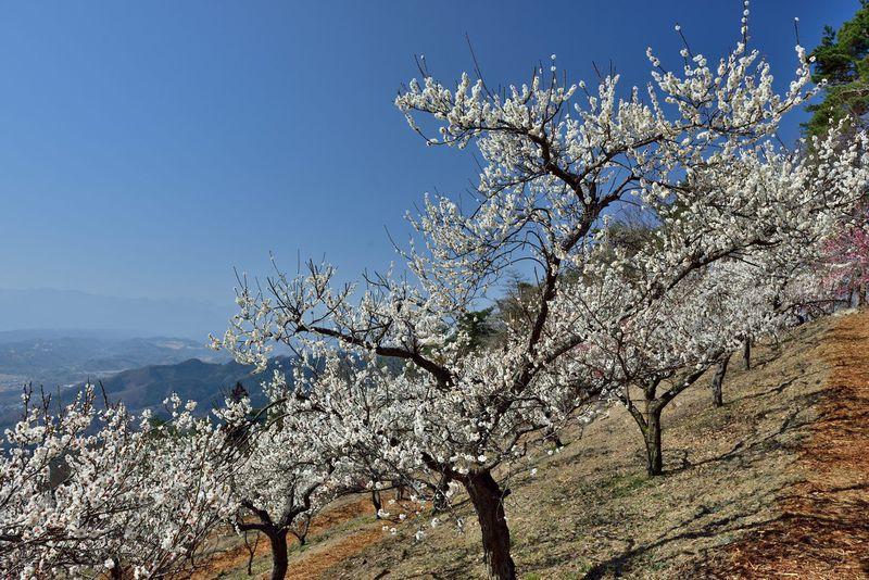 ロープウェイに乗っていく梅の名所・宝登山(ほどさん)梅百花園。埼玉県秩父郡