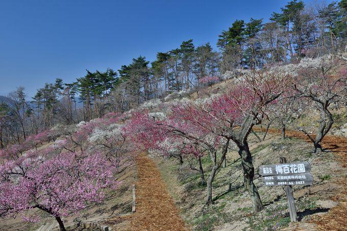 赤、白、ピンクの梅が咲き誇る梅百花園