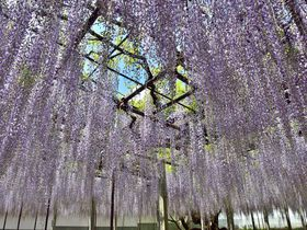 樹齢650年!骨波田の藤 巨木に咲く花はまるで紫の雨 埼玉県本庄市 長泉寺|埼玉県|トラベルjp<たびねす>