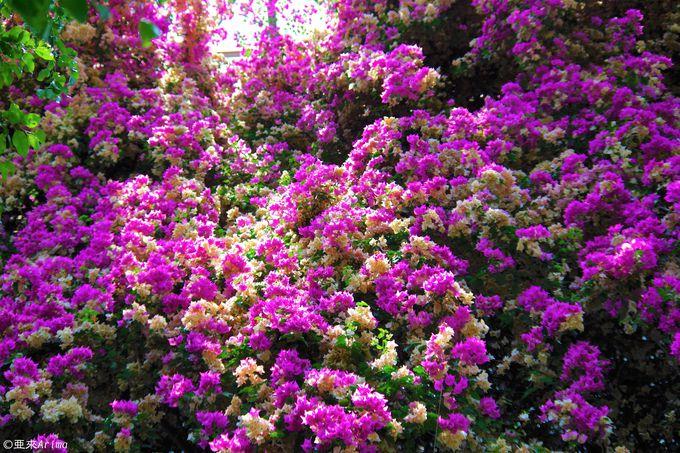 ブーゲンビリアの滝にヒスイカズラも咲く「トロピカルドーム温室」も圧巻