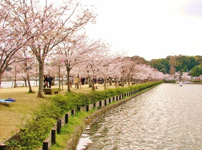 まさに橋立たる堤の桜のトンネル