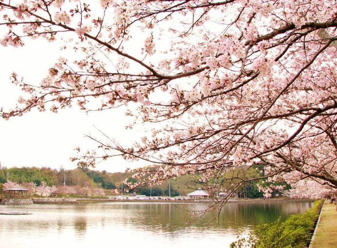 天橋立より感動する桜の橋立たる桜のトンネル散策