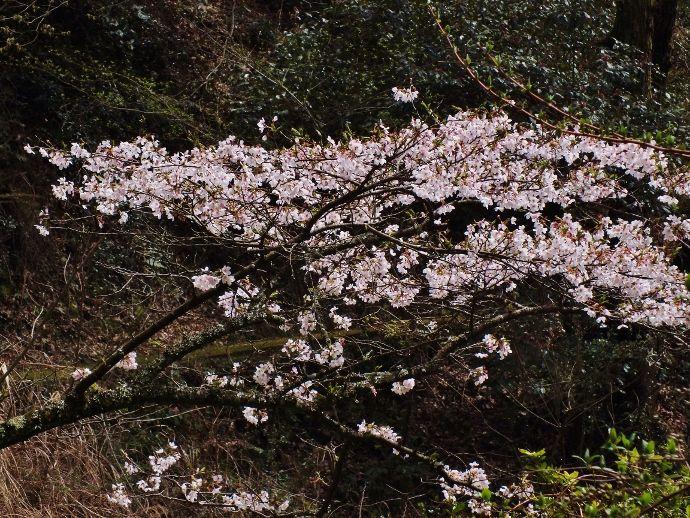 ヤマザクラと展望の湧ヶ渕自然公園