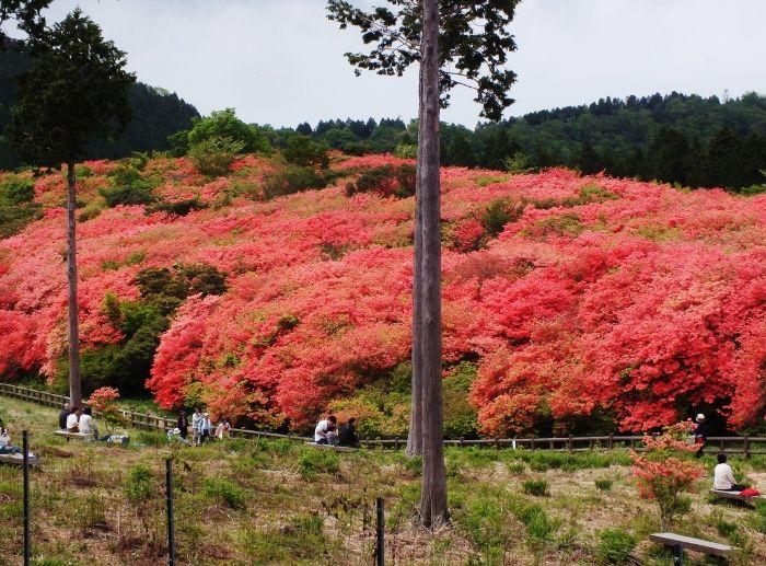 西日本唯一のオンツツジ古木群落・徳島「船窪つつじ公園」